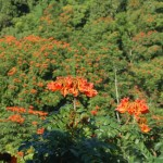 Flame Trees in Puerto Rico