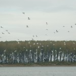 A flight of Terns