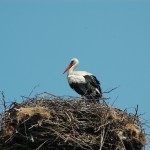 A Stork on our way back from Alexandria, last Tuesday.