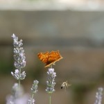 In Srdjan's garden. Anyone know the Butterfly's name?
