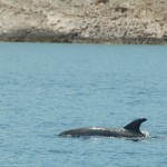 A porpoise, the first since April in Greece