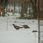 Chinese Pheasant cocks feasting on my misguided chick feed throw