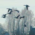 Geese over the Lek River