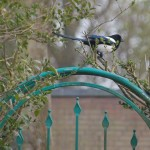A Magpie (Ekster) on my back yard fence