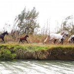 The famous Camargue wild horses