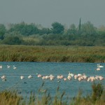 A couple swans and Flamingoes