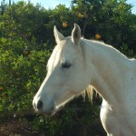 One of the Arabian mares