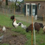 The chickens and sheep in Eck en Wiel