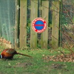 Chinese Pheasant helping himself to the chicken left over feed