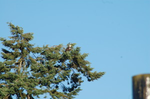 Two bald eagles on same Douglas Fir perch